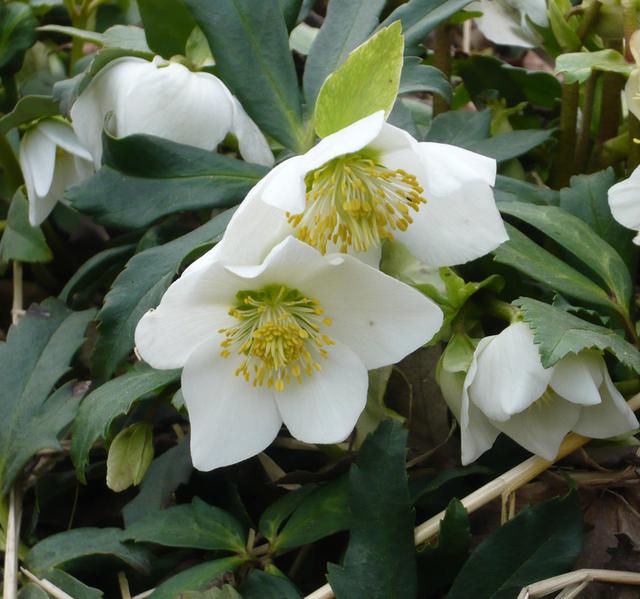 rectory garden plants helleborus niger christmas rose herbaceous plants home. Black Bedroom Furniture Sets. Home Design Ideas