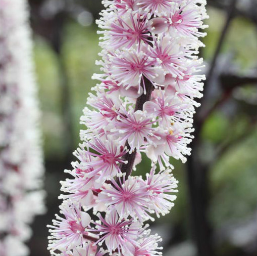 Rectory garden plants actaea cimicifuga pink spike herbaceous actaea cimicifuga pink spike mightylinksfo Image collections