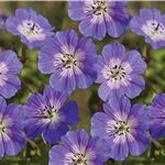 Geranium wallichianum Rise and Shine