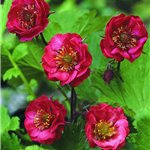 Geum hybrid Flames of Passion