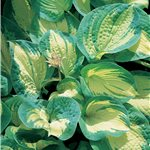 Hosta Great Expectations