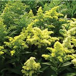 Solidago hybrid Little Lemon