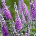 Veronica longifolia Candied Candle