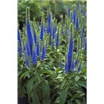 Veronica spicata Royal Candles